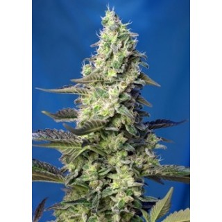 GREEN POISON XL AUTO® (SWS71)