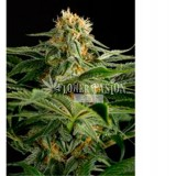California Hashplant